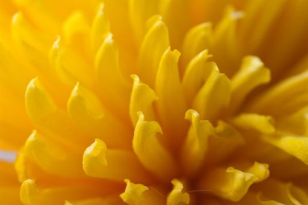 gul_blomst